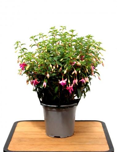 Fucsia (Rosa) Ø Vaso 19 cm