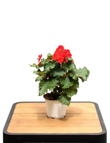 Begonia Eliator Ø Vaso 14 cm