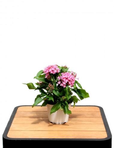 Pentas Ø Vaso 14 cm