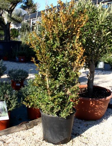 Bosso rotundifolia siepe Vaso 25 Shrubs Shop Online