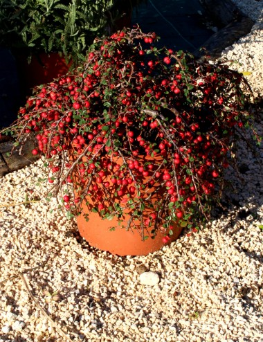 Cotoneaster Dammeri Ø Vaso 24 cm Ground cover plants Shop Online