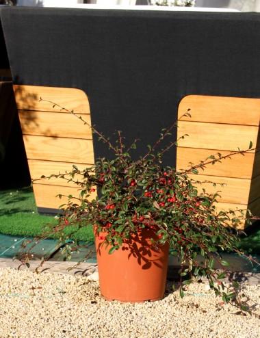 Cotoneaster Salicifolia Ø Vaso 24 cm Ground cover plants Shop