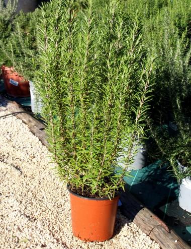 Rosmarino Officinale Ø Vaso 16 cm Aromatic plants Shop Online