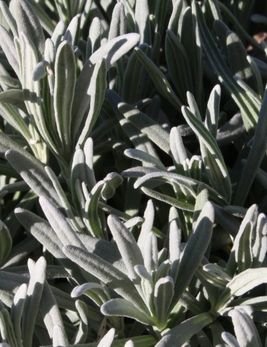 Lavanda Angustifolia Ø Vaso 30 cm Aromatic plants Shop Online