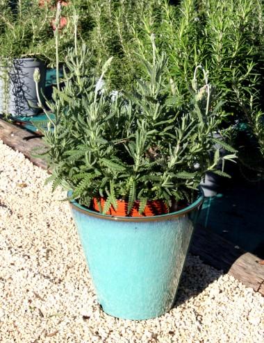Lavanda Candicans Ø Vaso 16 Aromatic plants Shop Online