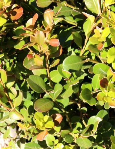 Bosso rotundifolia palla Vaso 40 Sträucher Shop Online