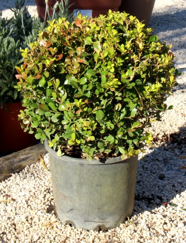 Bosso rotundifolia palla Vaso 70 Shrubs Shop Online