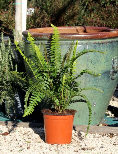 Felce Ø Vaso 19 cm Indoor Green Plants Shop Online