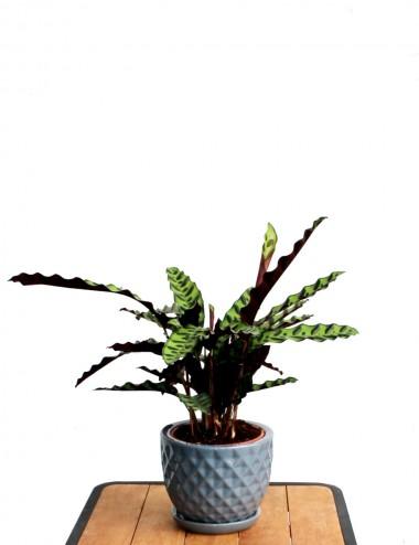 Calathea Lancifolia Ø Vaso 17 cm Indoor Green Plants Shop Online