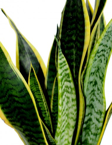 Sansevieira Laurentii Ø Vaso 17 cm Indoor Green Plants Shop