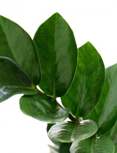Zamia Ø Vaso 24 cm Indoor Green Plants Shop Online