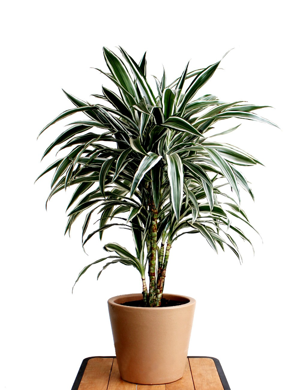 Dracaena White Stripe Ø Vaso 24 cm Indoor Green Plants Shop
