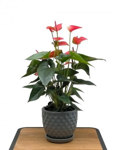 Anthurium Ø Vaso 17 cm Indoor Flowering Plants Shop Online