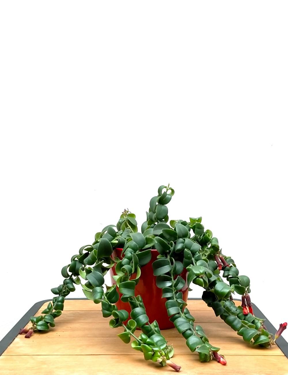 Aeschynanthus Ø Vaso 15 cm Indoor Flowering Plants Shop Online