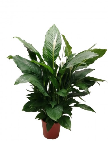 Spathiphyllum Ø Vaso 13 cm Indoor Flowering Plants Shop Online