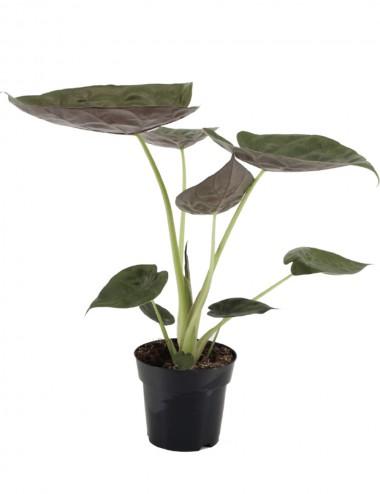 Alocasia Wentii Ø Vaso 19 cm Indoor Green Plants Shop Online