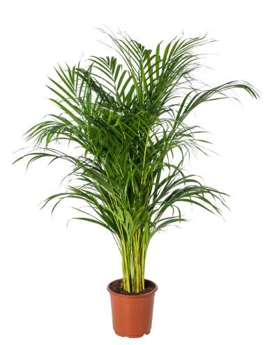 Dypsis Lutescens Areca Palm Ø Vaso 17 cm Indoor Green Plants