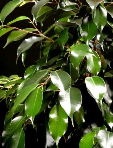 Ficus Benjamina Danielle Ø Vaso 17 cm Indoor Green Plants Shop