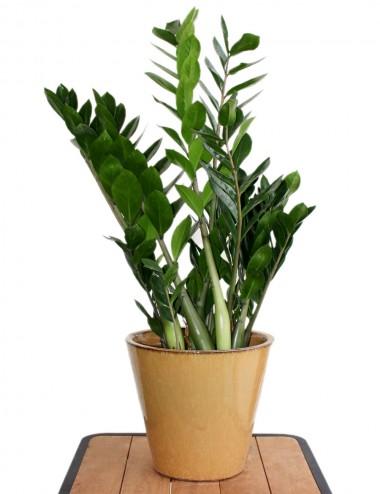 Zamia Ø Vaso 17 cm Indoor Green Plants Shop Online