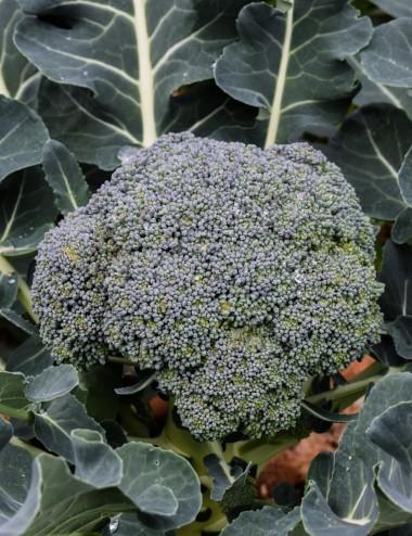Broccolo Siciliano a peso Vegetables Our Production Shop Online