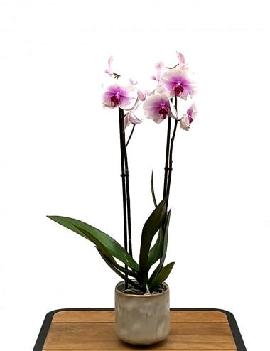Orchidea Phalaenopsis Lilla Ø Vaso 12 cm Indoor Flowering