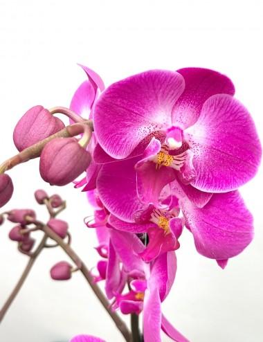 Orchidea Phalaenopsis Fucsia Ø Vaso 12 cm Indoor Flowering