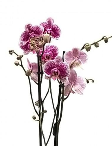 Orchidea Phalaenopsis Viola Ø Vaso 12 cm Indoor Flowering