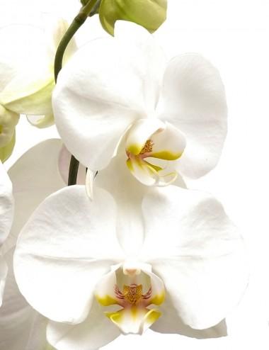 Orchidea Phalaenopsis Bianco Ø Vaso 12 cm Indoor Flowering