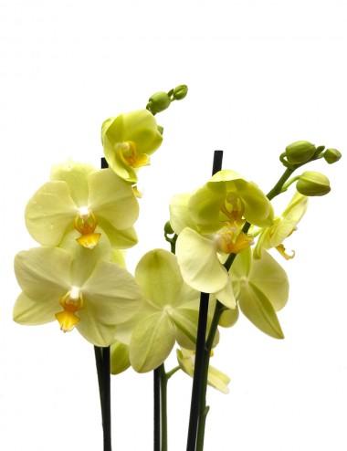 Orchidea Phalaenopsis Giallo Ø Vaso 12 cm Indoor Flowering