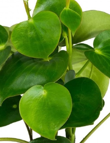 Peperomia Polybotrya RainDrop Ø Vaso 14 cm Indoor Green Plants