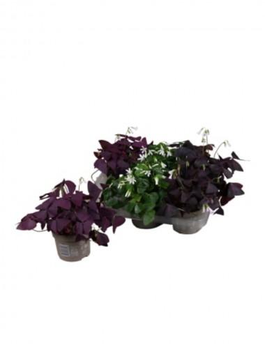 Oxalis Ø Vaso 12 cm Ground cover plants Shop Online