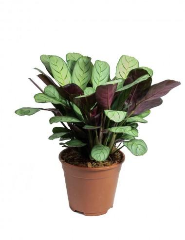 Ctenanthe Burle Marxii Amagris Ø Vaso 14 cm Indoor Green Plants
