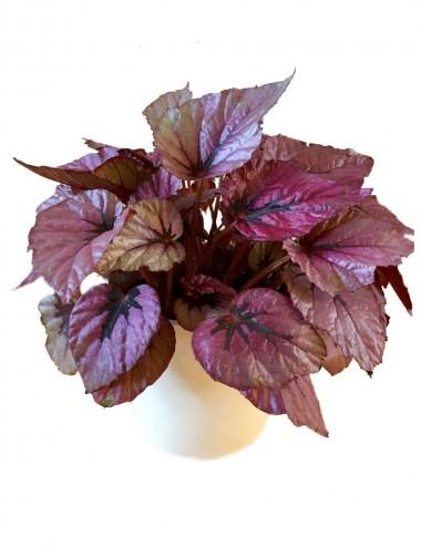 Begonia Leaf Beleaf Indian Summer Ø Vaso 12 cm Indoor Flowering