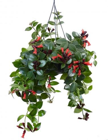 Aeschynanthus 'Mona Lisa' Ø Vaso 15 cm Indoor Flowering Plants