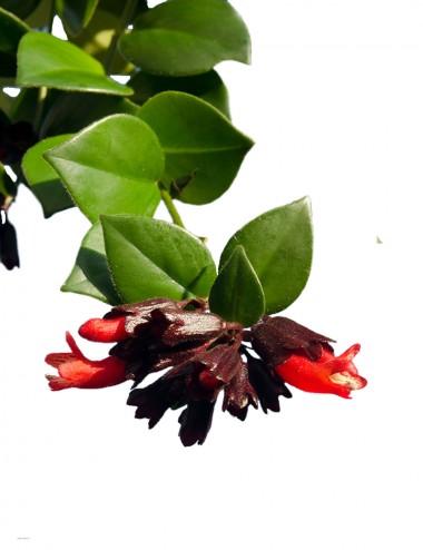 Aeschynanthus 'Mona Lisa' Ø Vaso 11 cm Indoor Flowering Plants