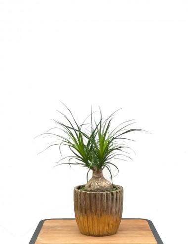 Beaucarnea Ø Vaso 10 cm Indoor Green Plants Shop Online