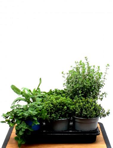 Mix 6 Piante Aromatiche Ø Vaso 14 cm Aromatic plants Shop Online