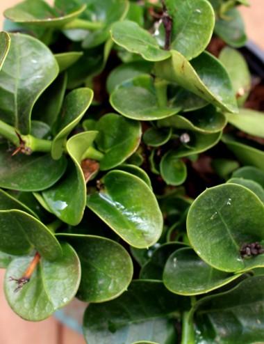 Carissa Grandiflora Ø Vaso 16 cm Sträucher Shop Online