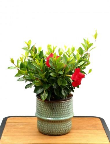 Dipladenia Sanderi Rosso Ø Vaso 17 cm Climbing plants Shop