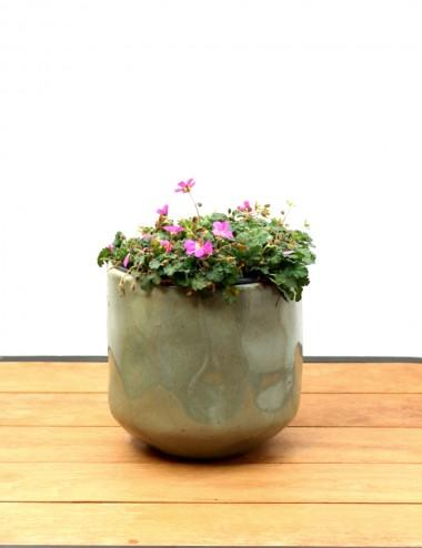 Erodium Ø Vaso 15 cm Ground cover plants Shop Online