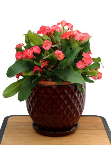 Euphorbia X Lomi Ø Vaso 24 cm Sträucher Shop Online