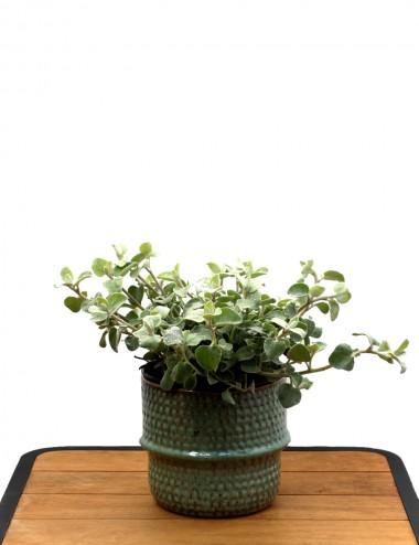 Helichrysum Petiolare Ø Vaso 16 cm Sträucher Shop Online