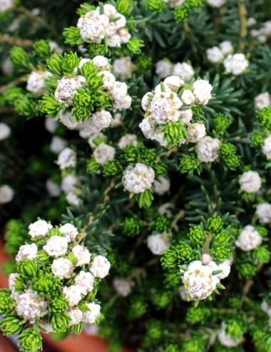 Phylica Ericoides Ø Vaso 24 cm Sträucher Shop Online