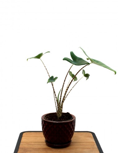 Alocasia Zebrina Ø Vaso 17 cm Indoor Green Plants Shop Online