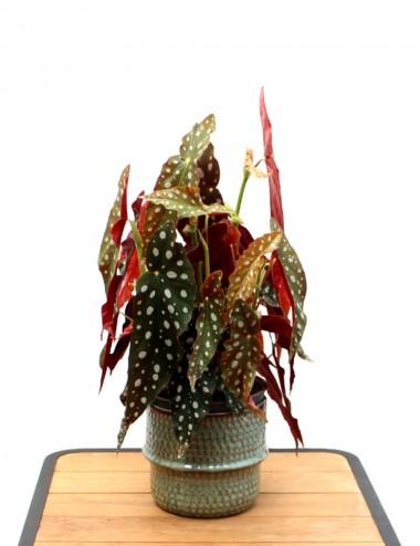 Begonia Blad Maculata Wightii Ø Vaso 17 cm Indoor Green Plants