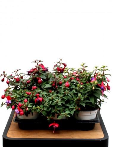 Mix 6 Piante Fucsia Ø Vaso 14 cm Outdoor flowering plants Shop