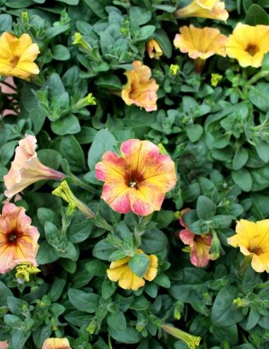 Mix 6 Piante Petunia Ø Vaso 14 cm Outdoor flowering plants Shop