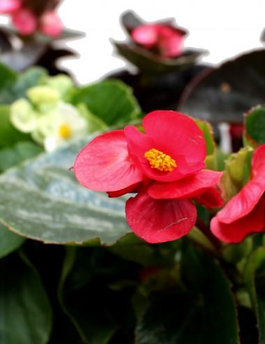 Mix 6 Piante Begonia Ø Vaso 14 cm Outdoor flowering plants Shop