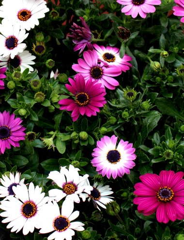 Mix 6 Piante Dimorphoteca Ø Vaso 14 cm Outdoor flowering plants