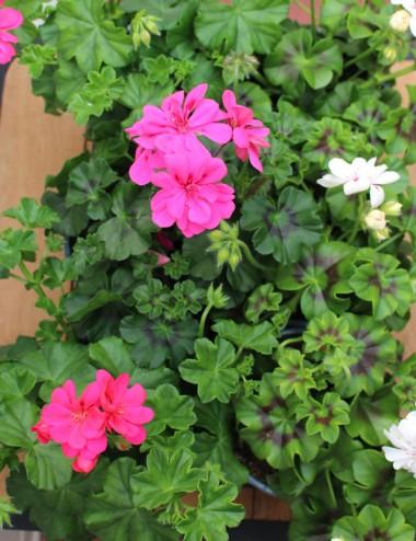 Mix 6 Piante Geranio Edera (Ricadente)Ø Vaso 14 cm Outdoor